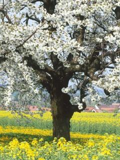 Незабываемо огромное дерево все покрыто белыми цветами