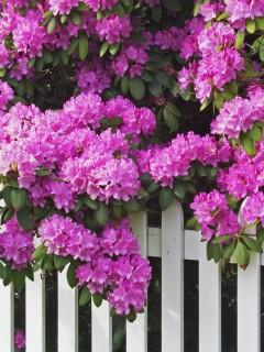 Красивые розовые цветы украсят ваш смартфон и сделают его еще ярче